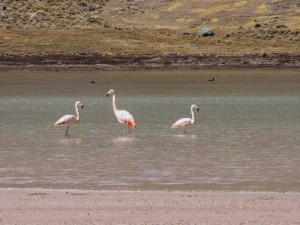 Chilean Flamingos_sm